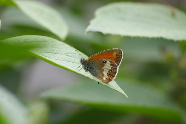 Coenonympha arcania  LINNAEUS, 1761. Basses-Lisières (Rouvres, 28), 7 juin 2010. Photo : J.-M. Gayman