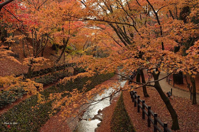 京都北野天滿宮御土居楓葉