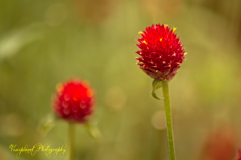 Twin flowers by Sudipto Sarkar on Visioplanet