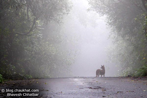 Enviable life of the dogs of Mahabaleshwar hill station