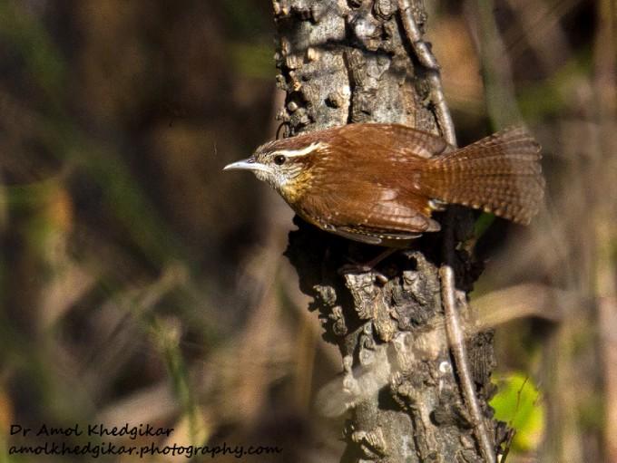 North Central Texas Birds Carolina Wren