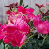 Gardening 2011 - 100_8913.JPG