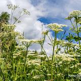 Зонтичные (Apiaceae sp.)