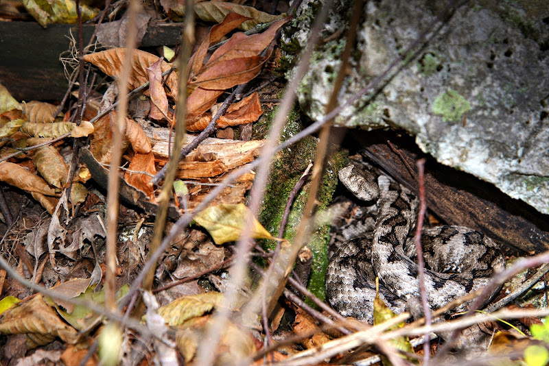 Vipera dal Corno (nel suo ambiente naturale - pericolosissima per l'uomo) di Winterthur58