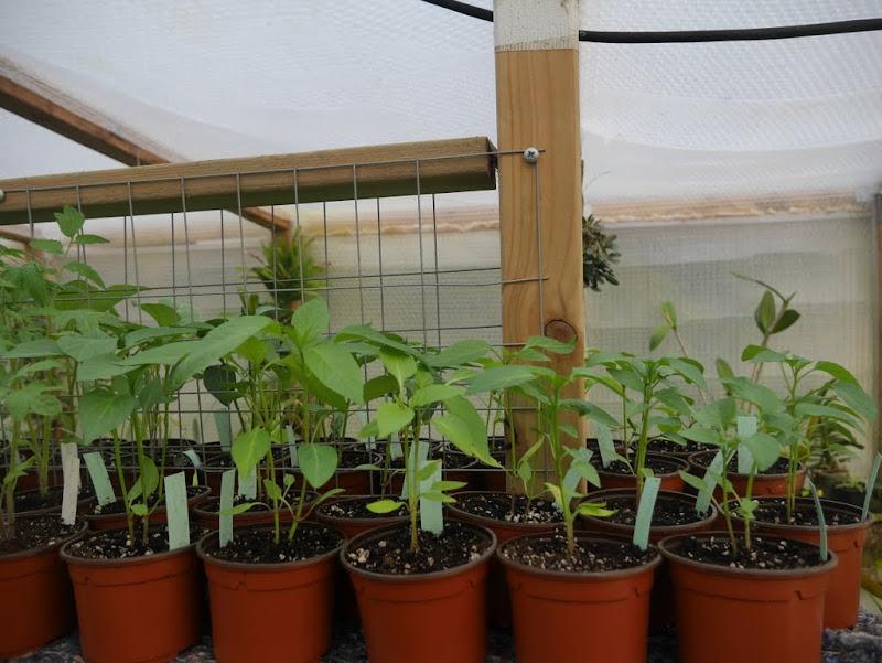 Tomates et compagnie, en folie P1080378