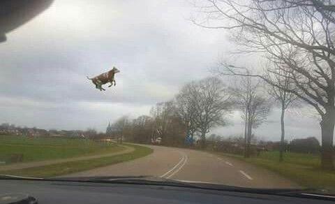 мем з коровою