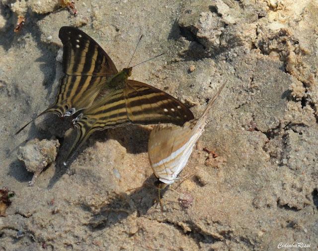 Marpesia chiron (FABRICIUS, 1775). Rive du Rio do Meio, Colider (Mato Grosso, Brésil), 14 mai 2011. Photo : Cidinha Rissi