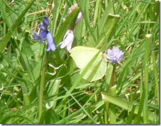 7 brimstone on bluebells