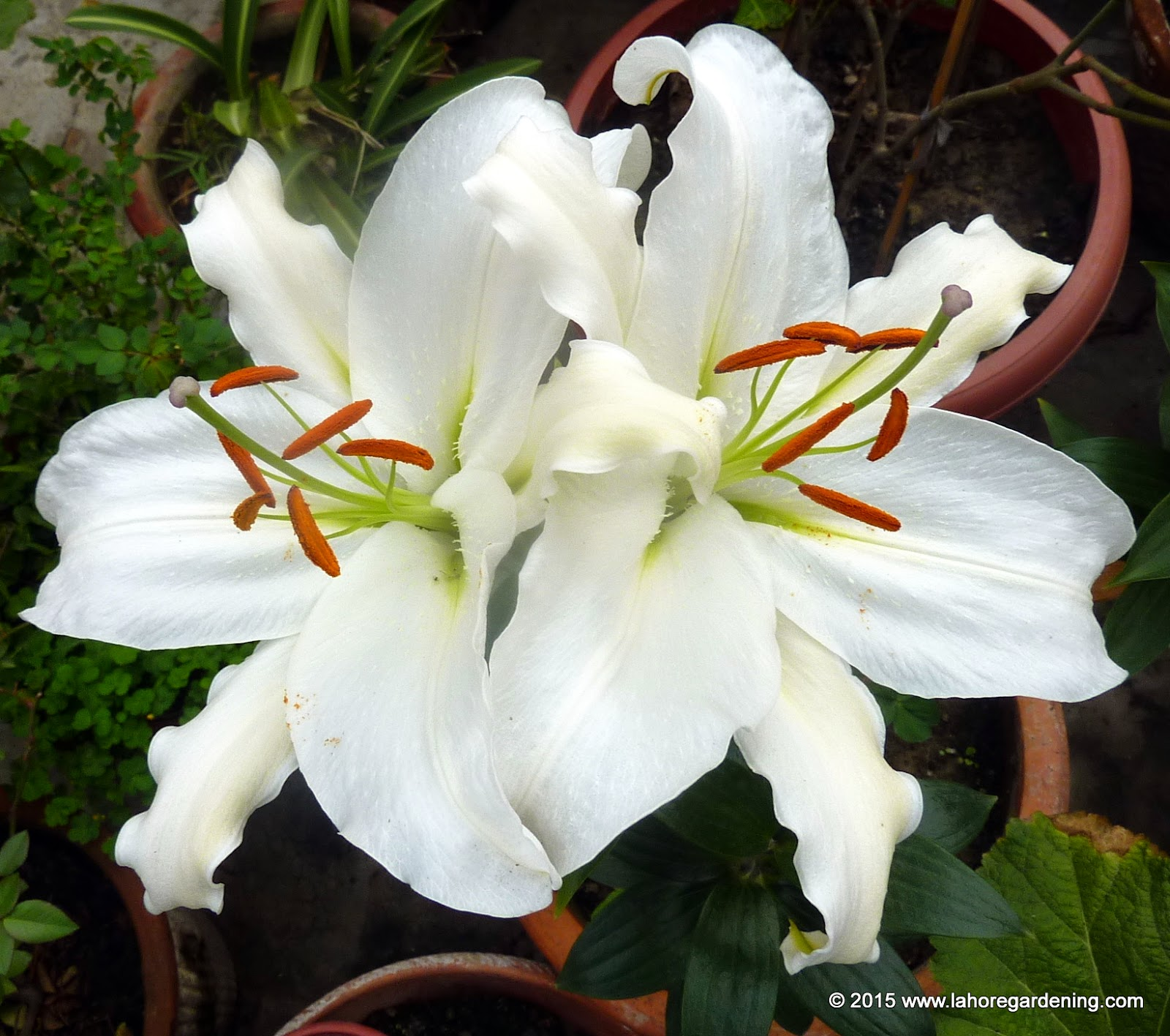 Growing flowering bulbs in warm climates oriental lily 6 one bulb will produce around 3 7 flowers give it a little liquid fertilizer when buds appear izmirmasajfo Images