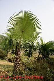 palmier d'afrique bis.jpg