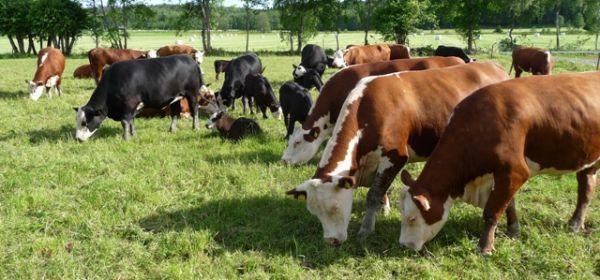 Nya leverantörer är Grön ko