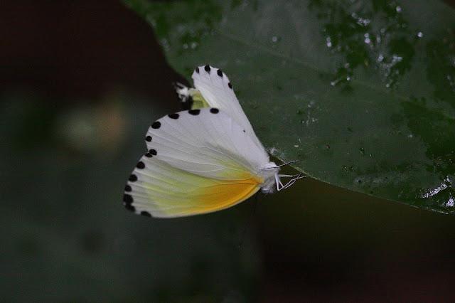 Probablement Mylothris sulphurea AURIVILLIUS, 1895. Réserve Écologique du Mont Koup, Nyasoso (Cameroun), 6 mars 2012. Photo : Timothy Boucher