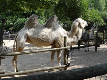 2017.08.26-015 chameau