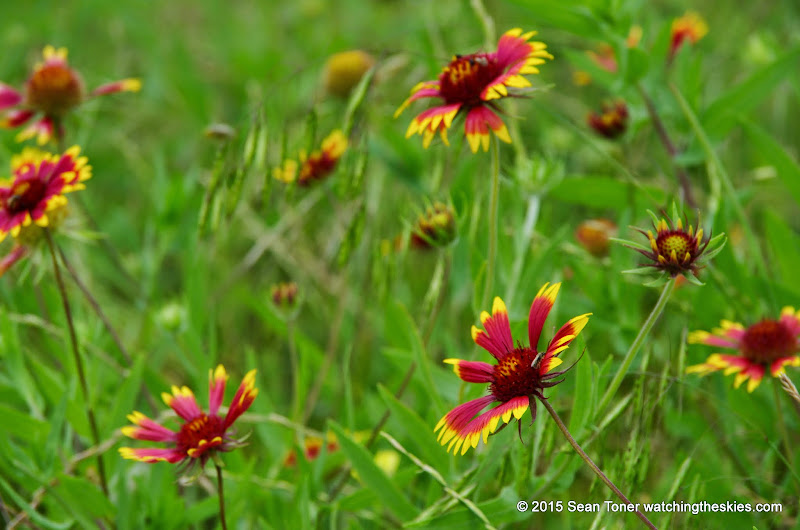 05-26-14 Texas Wildflowers - IMGP1355.JPG