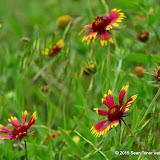 05-26-14 Texas Wildflowers - IMGP1355.JPG