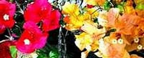 Picture of Tiny White Bougainvillea Flowers