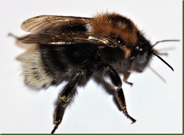 Bombus hypnorum Tree bumblebee April 2018