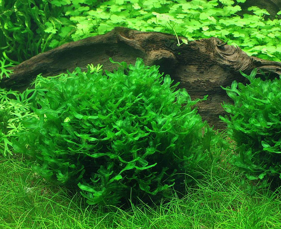 Моносолениум (Monosolenium tenerum)