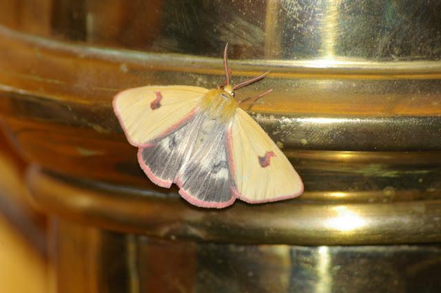 Arctiidae : Diacrisia sannio (LINNAEUS, 1758), mâle. Super-Sauze (1710 m), 10 juillet 2010. Photo : J.-M. Gayman