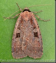 11008 Two-spot Dart Moth (Eueretagrotis perattentus)