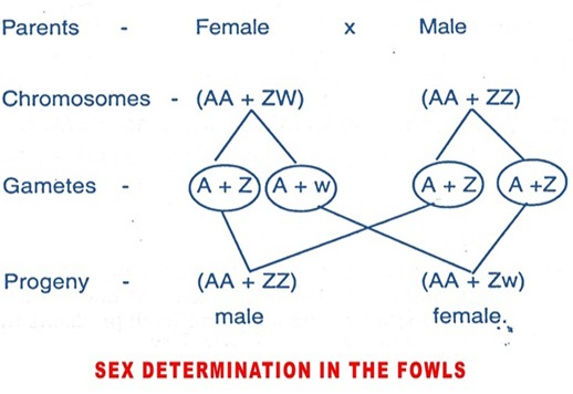 sex-detemination-birds