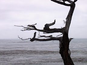 Bare cypress tree overlooking the Pacific Ocean