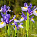 Ирис (Iris sp.)