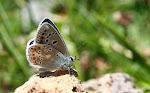 Hvidrandet blåfugl, dorylas, han7.jpg