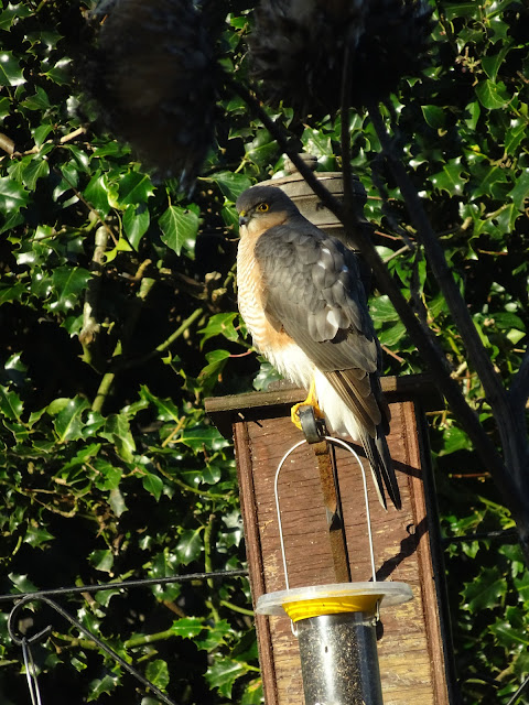 This Sparrowhawk took a break on the birds feed station