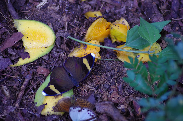 Euphaedra losinga HEWITSON, 1865, mâle, et Cymothoe caenis DRURY, 1773, mâle. Ebogo (Cameroun), 9 avril 2012. Photo : J.-M. Gayman