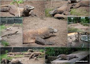 Warany z Komodo w zoo w Surabaya