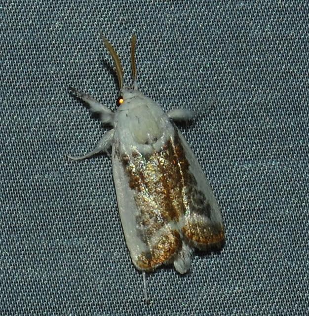 Xyloryctidae : Cryptophasa porphyritis TURNER, 1906. Umina Beach (N. S. W., Australie), 29 décembre 2011. Photo : Barbara Kedzierski