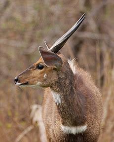 Nyala Male, South Africa
