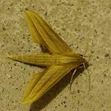 Sphingidae : Macroglossinae : Xylophanes loelia (Druce, 1878), mâle. Fundo Palmarito, 265 m (Yopal, Casanare, Colombie), 7 novembre 2015. Photo : J.-M. Gayman