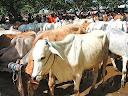 Daftar harga kambing dan sapi hewan korban 2013 Kabupaten/kota