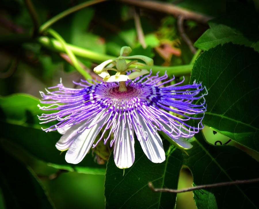 Purple Passion by Mark Ayers-Stebenne - Flowers Flowers in the Wild ( rare flower, passiflora incarnata, florida gulf coast, florida wildflower, passion flower, tropical flowers,  )