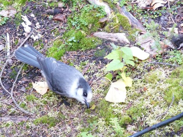 Gray Jays were very common