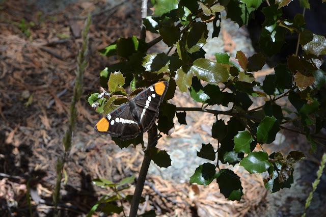 butterfly on an oak