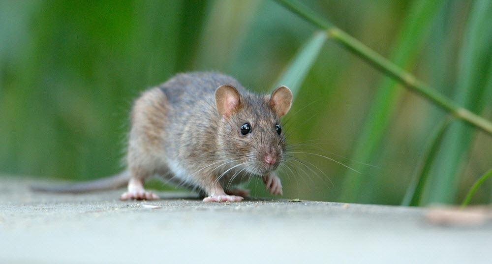 alberta-rats-3