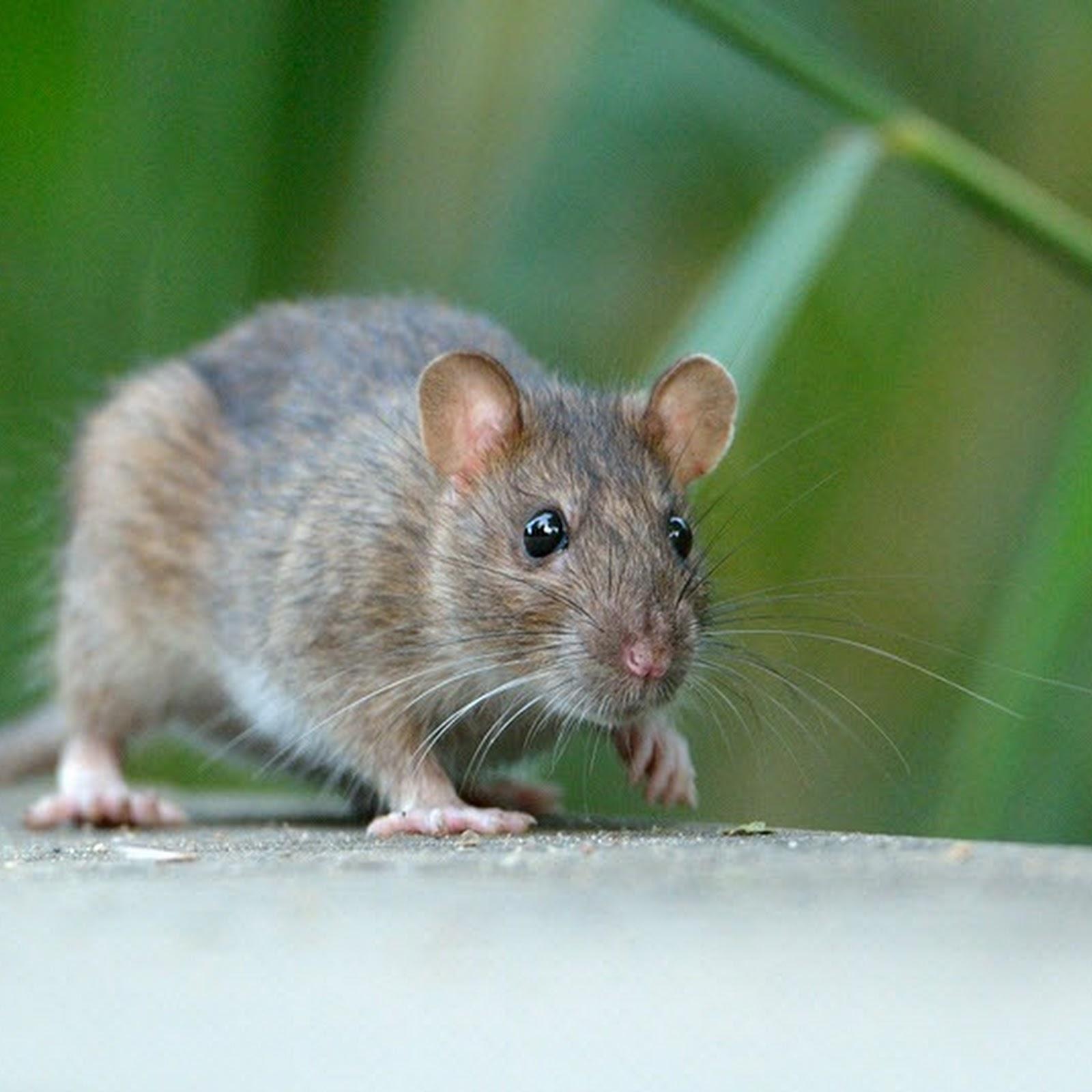 Alberta's War on Rats