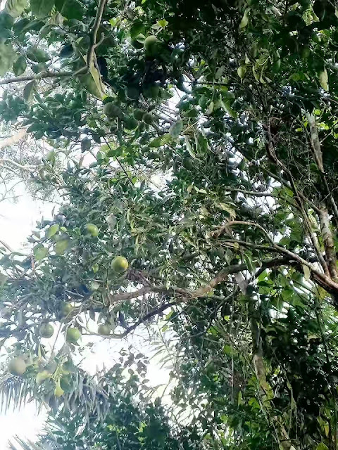 Mystery As Orange Tree Bears Tangerines In Osun State (See Photos)