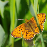 Brenthis ino (ROTTEMBURG, 1775), mâle. Fex Crasta, 2000 m (Engadine, Grisons, CH), 14 juillet 2013. Photo : J.-M. Gayman