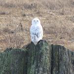 2012_12_30_Snowy_Owl_Delta