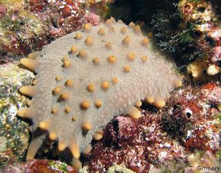 Stichopus%20fuscus_Galapagos