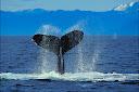 external image Whales%2B000802_c864_0069_csls.jpg
