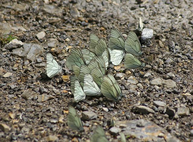 Rassemblement d'Aporia crataegi LINNAEUS, 1758 sur sol humide (1680 m). La Blachière (Ubaye), 9 juillet 2010. Photo : J.-M. Gayman