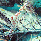 Ghostpipe fish