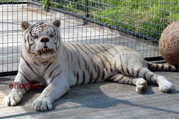 harimau-putih-down-syndrome