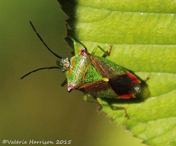 Hawthorn-Shieldbug