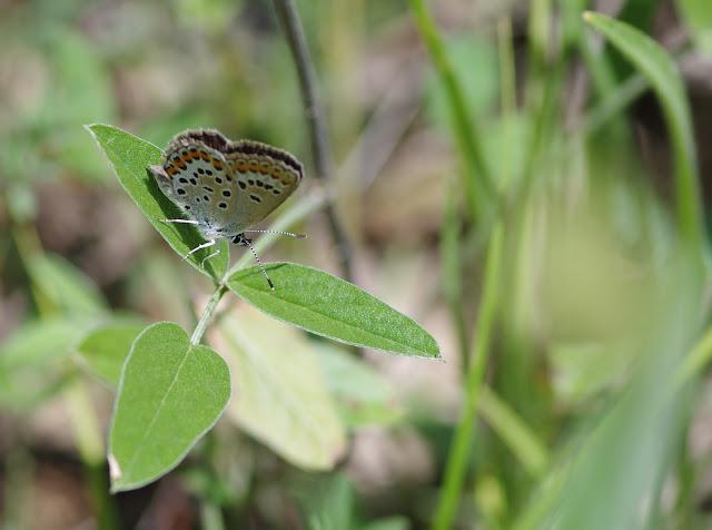Polyommatus icarus (Rottemburg, 1775), ♀. Les Hautes-Courennes, Saint-Martin-de-Castillon (Vaucluse), 15 juin 2015. Photo : J.-M. Gayman